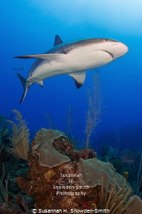 """Apex"" - A female Caribbean reef shark cruises the reef. by Susannah H. Snowden-Smith"