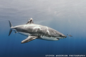 Great White appears from the haze of the late day sun at ... by Steven Anderson