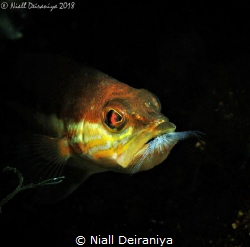 Small fish with another fish in its mouth having just eat... by Niall Deiraniya