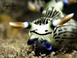 Smiley face nudibranch feeding! Shots taken in Dauin Phil... by Rayne Yeo