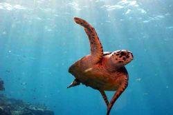Hawksbill turtle by Joseph Moore