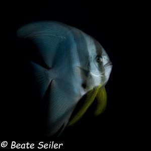 Batfish at Pintuyan house reef by Beate Seiler