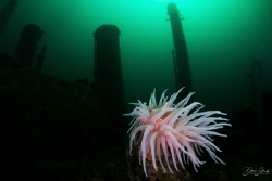 Cold water anemone and wreck in Gulen by Daniel Strub