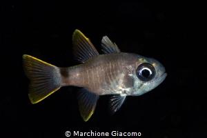 Juvenile cardinal fish Raja ampat Indonesia Nikon D800E... by Marchione Giacomo