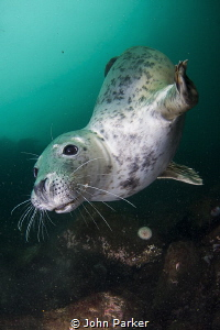 Inquisitive seal by John Parker