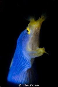 Ribbon Eel lembeh by John Parker