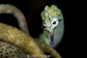 Coral pipefish by John Parker