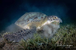 Green turtle by Claude Lespagne