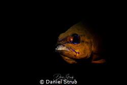 Apogon aureus incubating by Daniel Strub