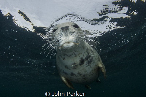 Nosey Seal by John Parker