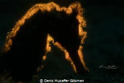 backlight story , torny seahorse by Deniz Muzaffer Gökmen
