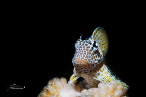 leopard blenny