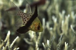 The Pyjama Cardinalfish must have one of the craziest pat... by Richard Smith