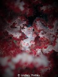 Pygmy Seahorse @ Sinandigan Wall, Puerto Galera by Lindsey Mobley