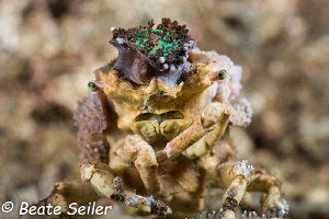 Decorator crab taken at the housereef of Pintuyan Dive Re... by Beate Seiler