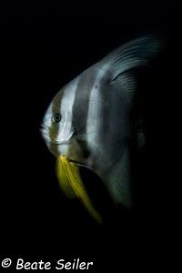 Bat fish at the house reef of Pintuyan Dive Resort by Beate Seiler