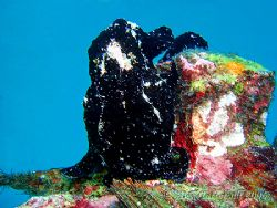 Black frogfish in Sabang.... not easy to get any definiti... by Alex Tattersall