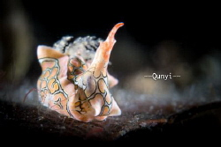 A swan nudi at Anilao, Philippines. Shot by sony 6500. by Qunyi Zhang