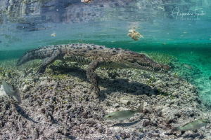 Cocodrile in the Mangrove, Gardens of the Queen Cuba by Alejandro Topete