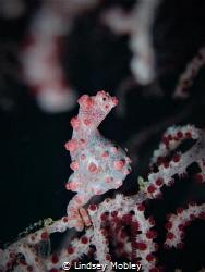 Proud Papa!! @ Fantasea Reef, Puerto Galera by Lindsey Mobley