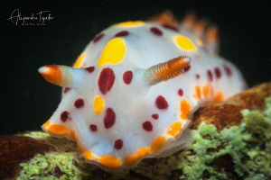 Nudibranch close up, La Paz Mexico by Alejandro Topete