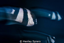Humbugs in Motion by Henley Spiers