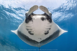 After 15 years Giant Pacific Manta Rays have made a retur... by Nick Polanszky