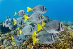 A School of Yellow-tailed Surgeonfish grazing for algae i... by Nick Polanszky