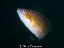 Rock cook (Centrolabrus exoletus) - Picture taken in Kenm... by Gary Carpenter