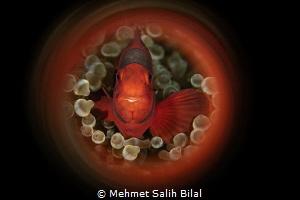 Tomato clownfish. by Mehmet Salih Bilal