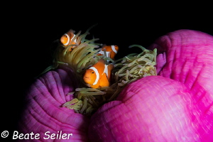 Clownfish at Pintuyan house reef by Beate Seiler