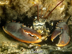 Awesome common lobster survived the nets by Eduard Bello