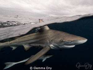 Oceanic Blacktip shark cuts through the water against a s... by Gemma Dry