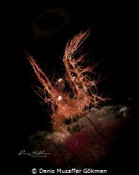 hairy shrimp algae shrimp (phycocaris simulans) by Deniz Muzaffer Gökmen