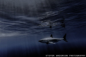 Shades of blue filter on to a Great White in the calm wat... by Steven Anderson