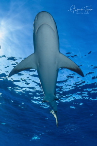 Reef Shark and Sky, Gardens of the Queen Cuba by Alejandro Topete
