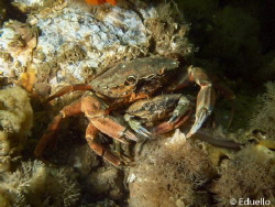 Common crab by Eduard Bello