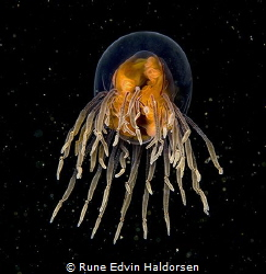 Alien - a Goninemus vertens from the North Sea. The jelly... by Rune Edvin Haldorsen