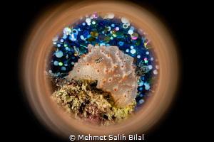 Halgerda batangas. by Mehmet Salih Bilal