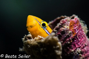 Blenny lookout by Beate Seiler