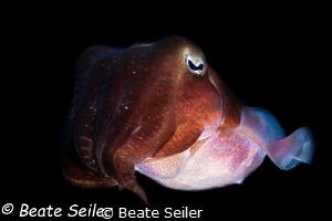 Cuttlefish at Pintuyan house reef by Beate Seiler