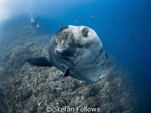 Here's looking at you, kid  Bump-Head Sunfish - Mola al... by Stefan Follows