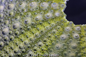 The Armor of a Cape Sea Urchin by Peet J Van Eeden