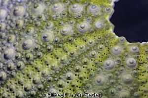 The Armor of a Cape Sea Urchin by Peet J Van Eeden