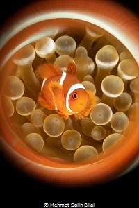 Clownfish. by Mehmet Salih Bilal