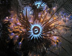 Colonial anemone and sea squirt bouquet. Taken at Black R... by Nick Hobgood