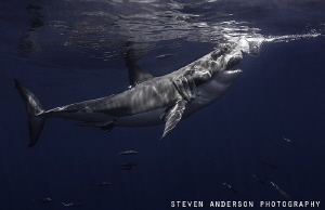 Taking a bite for a snack this Great White shows pure pow... by Steven Anderson