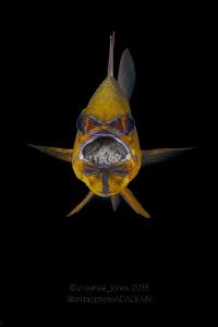 Mouth Brooding Cardinal Fish by Wayne Jones