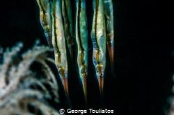 Razor Blade Fish by George Touliatos