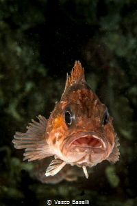 Juvenile Cabrilla on the wall of Pucusana Island by Vasco Baselli